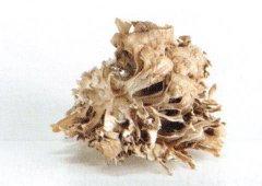 Maitake - einer von vielen Vitalpilzen